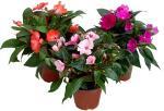 Бальзамины, бальзамины цветущие комнатные растения, бальзамины уход, бальзамины купить, бальзамины фото