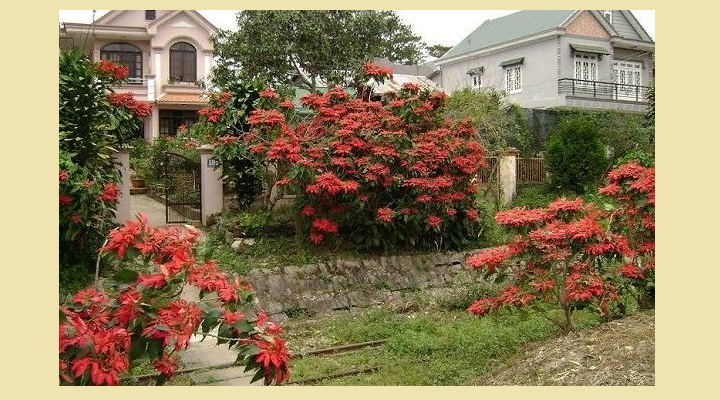 Цветок «красный лист» рождественская звезда