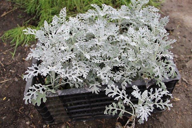 Посев цинерарии серебристой в открытый грунт