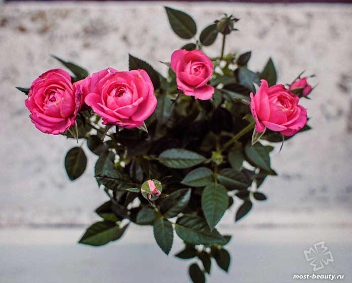 Комнатная роза. CC0