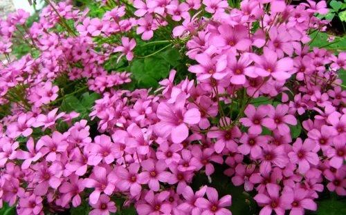 Кислица розовая