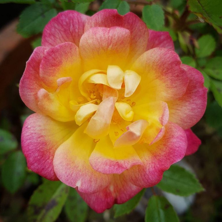 Полезные свойства розы домашней
