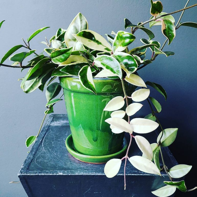 Полезные свойства тропического цветка