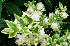 Любимый цветок богини Афродиты — мирт: правила выращивания и ухода за комнатным растением