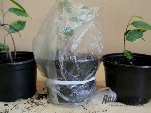 Как укоренить фикус черенками, без корней, с большими листами