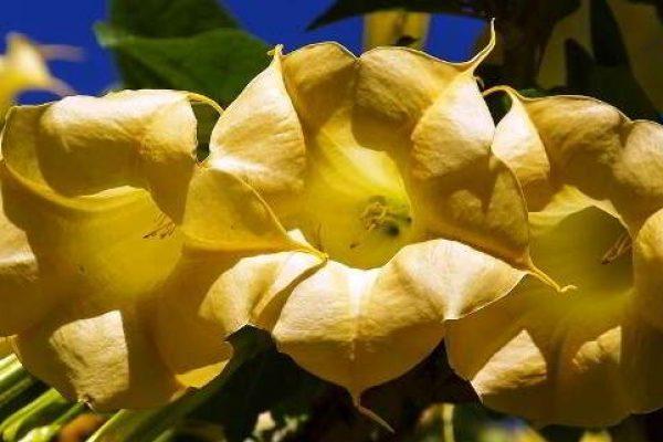 бругмансия уход в домашних условиях желтеют листья