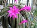 Aporocactus-Cactus-4