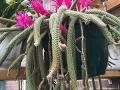 Aporocactus-Cactus-cutting-_1