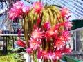 Aporocactus-Hybride_'Klaerchen'_33