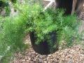 Аспарагус густоцветковый (Шпренгера)