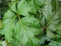 Cissus-Rhombifolia