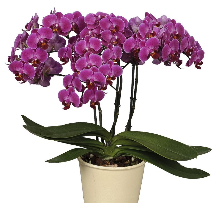 зверей орхидея фаленопсис фото уход в домашних условиях яркий пример