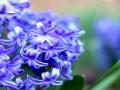 Гиацинт - цветок дождя