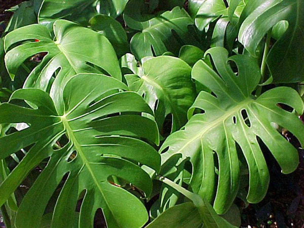 Ядовито ли растение монстера фото 7