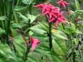 Euphorbia_tithymaloides
