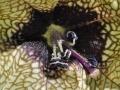Hyoscyamus niger L. 2