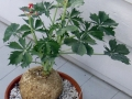 Ятрофа или бутылочное дерево
