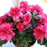 Комнатный цветок Азалия — правильный уход за растением
