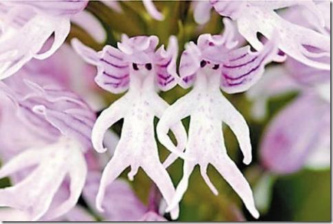 """Орхидея """"Голые люди"""""""
