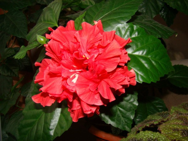 Китайская роза — уход в домашних условиях