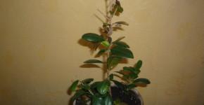 Почему опадают листья у азалии?
