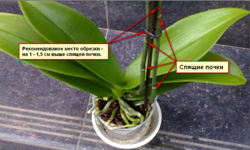 Орхидея отцвела, что делать дальше?