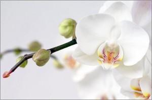 Почему у орхидеи опадают бутоны?