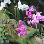 Родина орхидеи комнатной, откуда к нам пришла орхидея?