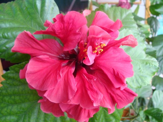 Китайская роза (Гибискус) – почему не цветет?
