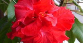 Китайская роза, дерево любви, вечнозеленое растение, дарящее нам свои плоды, яркие широко раскрытые махровые розы, у которых необычайно тонкие лепестки как бумага, цветущие только один день. Говорят, что оно может быть индикатором семейного благополучия, если в семье не все ладно, то на дереве начинают желтеть и опадать листья. Так почему же все - таки у китайской розы желтеют листья?