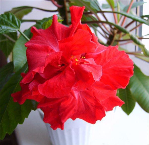 Гибикус (китайская роза) — причины желтения листьев