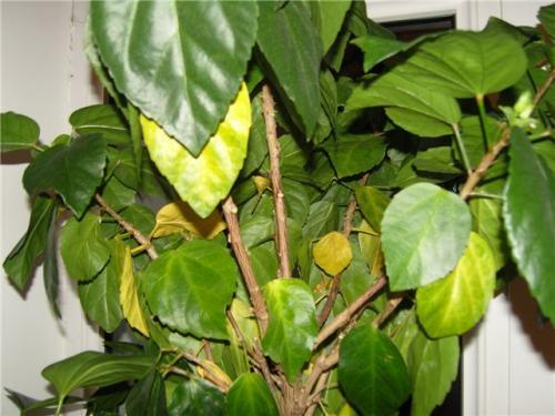 гибикус - желтеют листья