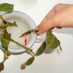 Размножение китайской розы черенками — как правильно размножать китайскую розу черенками