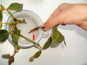 Размножение китайской розы черенками