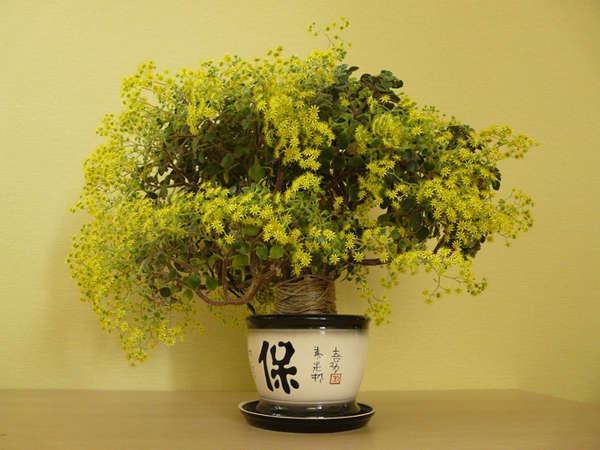 Аихризон — дерево любви в вашем доме, фото, уход