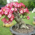 Адениум — невероятной красоты пустынный цветок