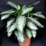 Аглаонема — вечнозеленый кустарник в домашних условиях