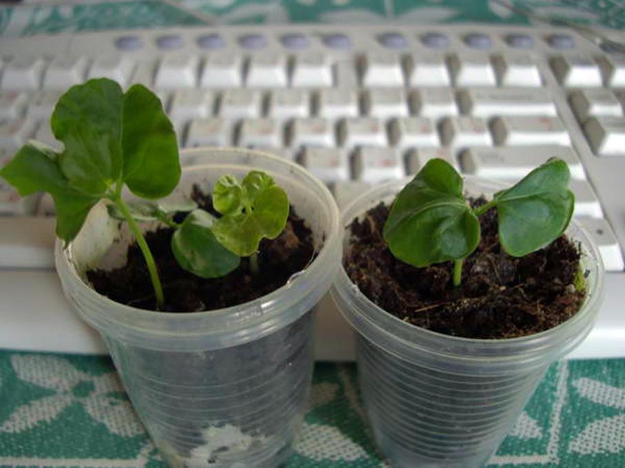 Как размножается комнатная китайская роза