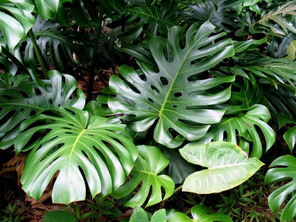 Монстера – вечнозеленая лиана из Южной Америки