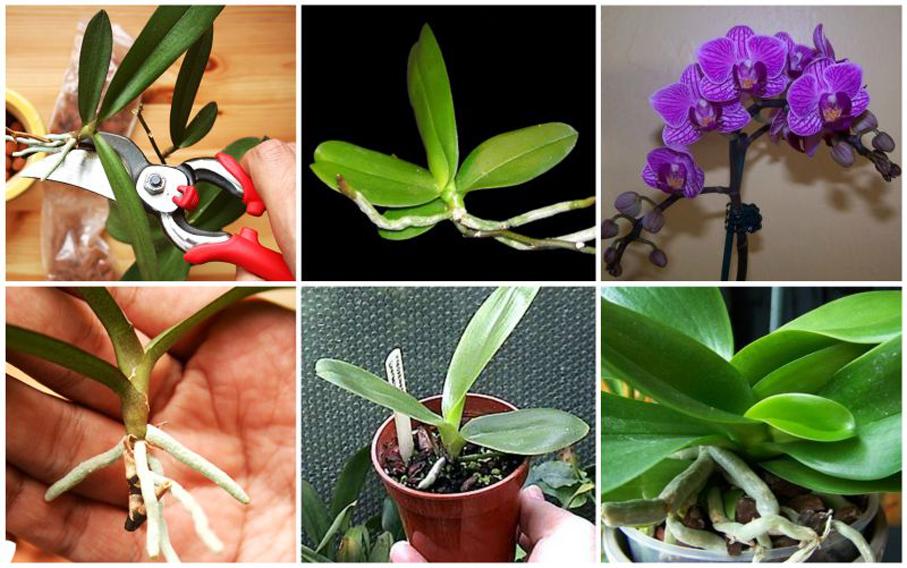 Как размножить комнатную орхидею