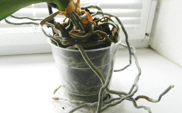 Растение требует пересадки