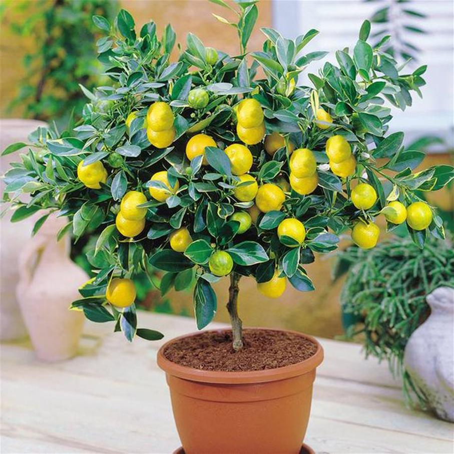 Лимонник домашний цветок уход фото