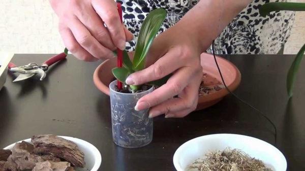 Как пересадить орхидею в домашних условиях