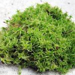 Мох сфагнум: свойства и применение при посадке комнатных растений