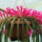 Апорокактус — фото, уход в домашних условиях, трудности в выращивании
