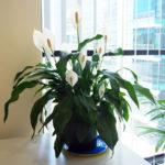 Спатифиллум: уход в домашних условиях