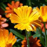 Ноготки лекарственные. Цветы украшения и исцеления