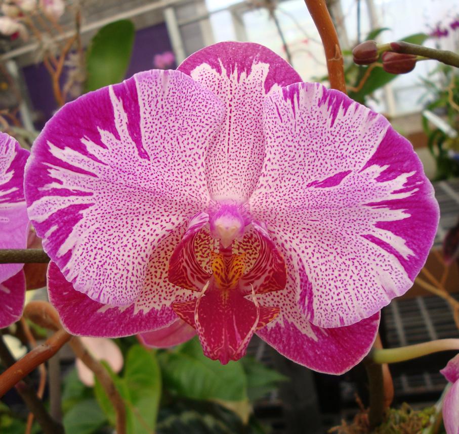 Орхидея фаленопсис: описание, условия содержания, пересадка в домашних условиях