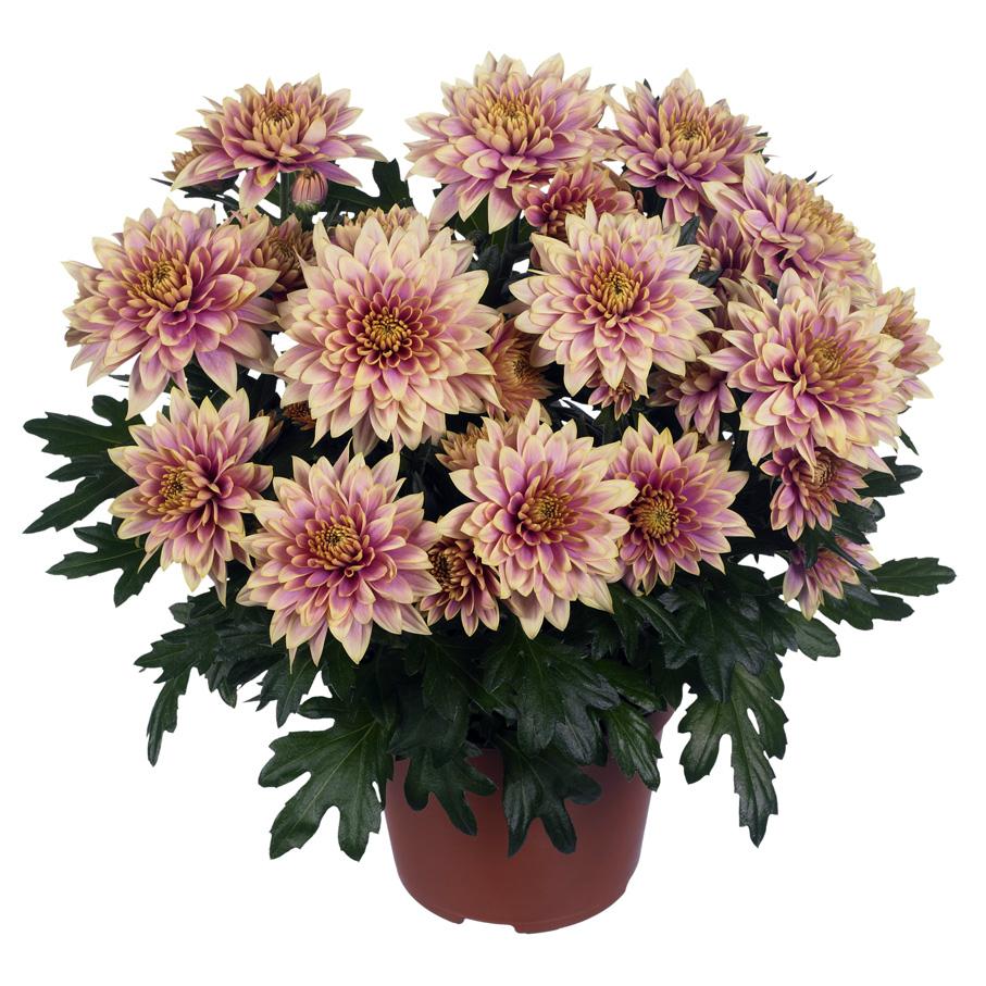 Домашняя хризантема в горшке. Уход и особенности выращивания