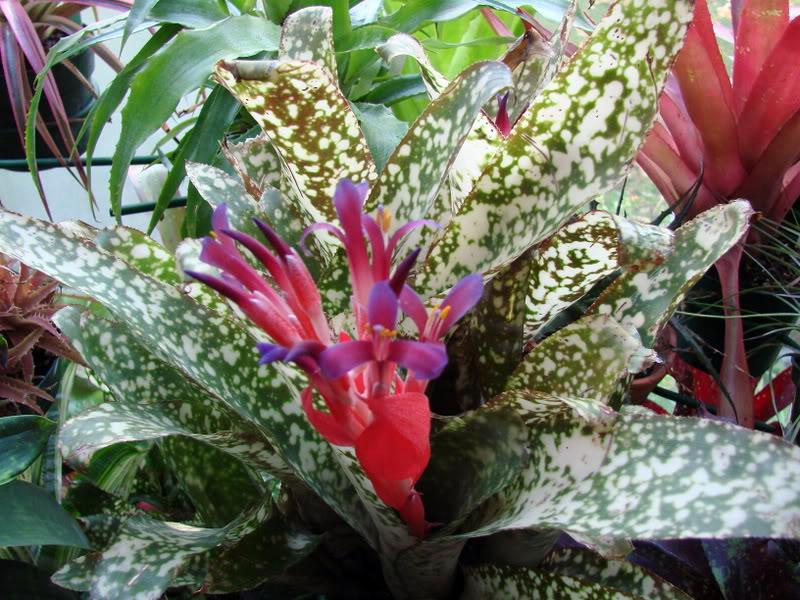 Необыкновенная бильбергия уход в доме, виды растения, фото